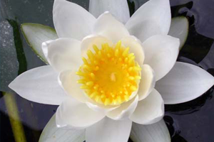 Les élixirs floraux