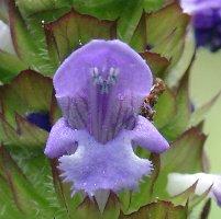 plantes.sauvages.free.fr brunelle vulgaire B