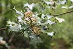 Houx fleurs 148x99