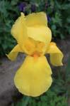 Iris jaune JP 99x149