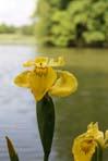 Iris jp jaune B  99x148__4863